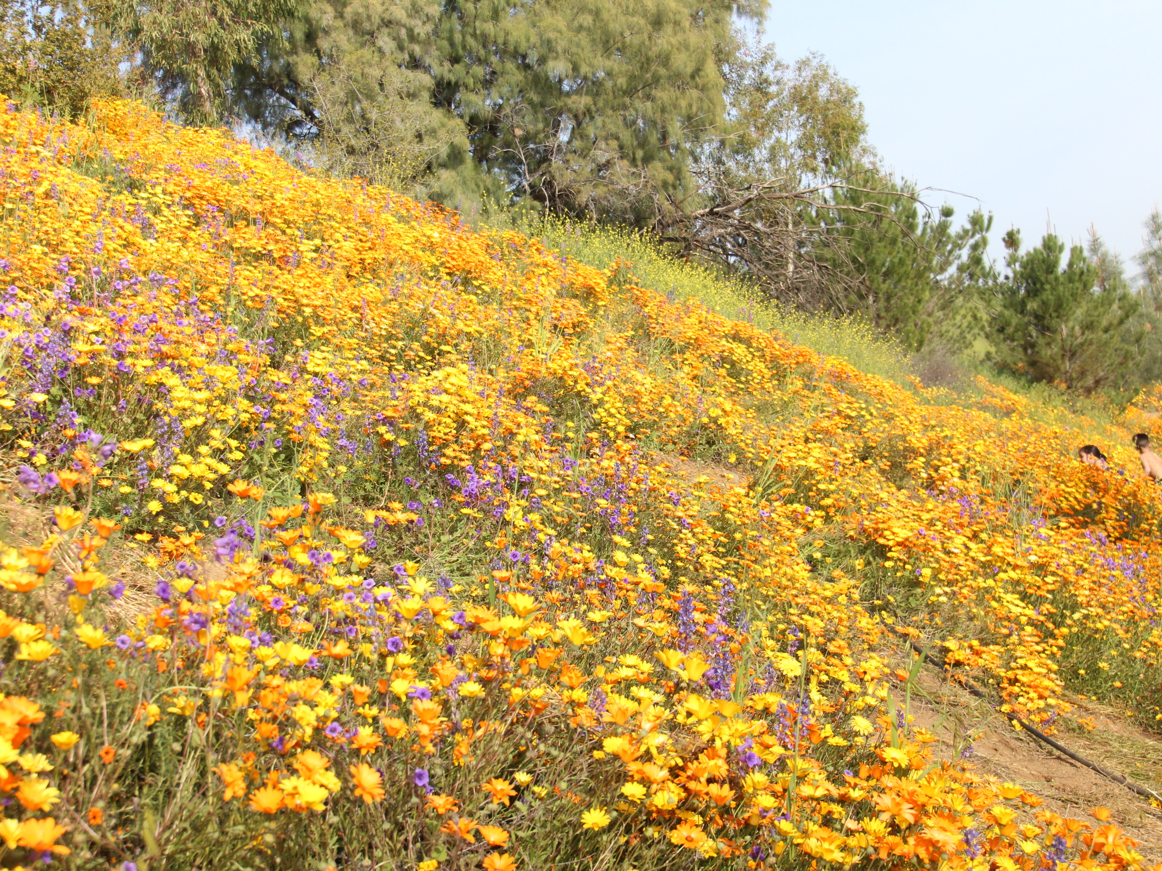 Die kalifornischen Berghänge im anfänglichen Frühjahr